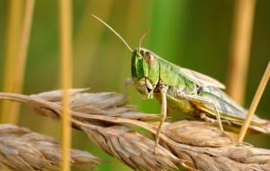 지금 아프리카는 대형 메뚜기떼와 사투 중